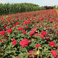 两年生陕西月季花种植基地 周至月季花优质营养钵大花特价批发