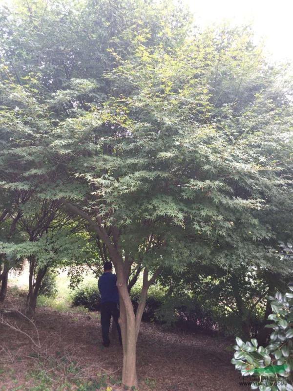 湖州泗安供应10-22公分鸡爪槭