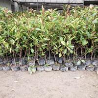 供应红叶石楠(大杯苗,小杯苗)红叶石楠基地批发价格红叶石楠球