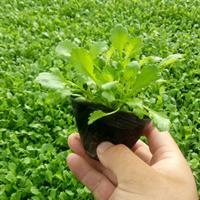 优质大滨菊基地-山东盆栽大滨菊供应