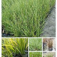 供应荷花、睡莲、芦苇、花叶芒、狼尾草水生植物与观赏草