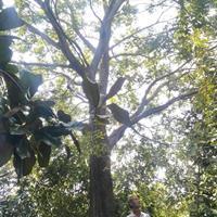 安徽[產品]/安徽12-40公分樸樹價格/報價