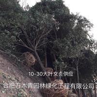 安徽[产品]/安徽大叶女贞苗木装车场价格/报价