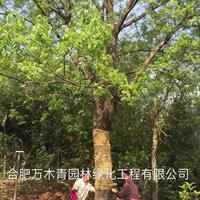 黄连木15-45公分行情报价/黄连木15-45公分图片展示