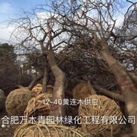 安徽供应黄连木苗木装车场规格齐全