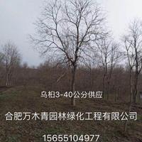 乌桕3-40公分图片/乌桕3-40公分报价