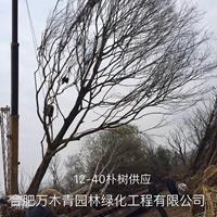 安徽供應樸樹12-40公分規格齊全