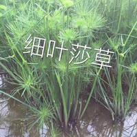 浙江快乐赛车开奖细叶莎草规格齐全