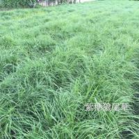 紫穗狼尾草图片/紫穗狼尾草报价