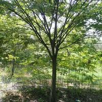 优质特价5到25公分榉树产地直销