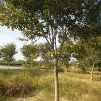 大小规格5到30公分榉树基地