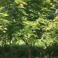 江苏大规格鸡爪槭2介绍/特征/用途