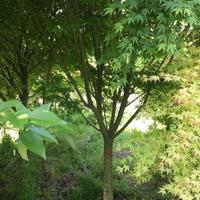 大小规格沭阳鸡爪槭基地
