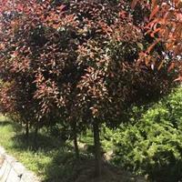 大小规格一*红叶石楠树基地