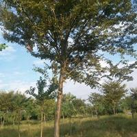 大小规格榉树基地