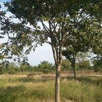 大小规格榉树2基地
