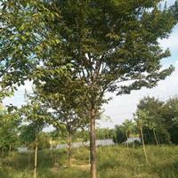 江苏供应榉树5规格齐全