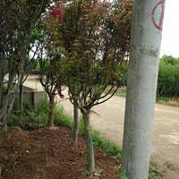 優質特價長沙紅楓產地直銷
