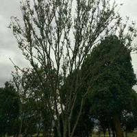 湖南供应丛生朴树2规格齐全