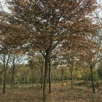 湖南紅櫸樹介紹/特征/用途