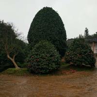 湖南供应精品茶花树规格齐全