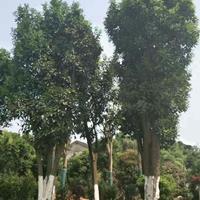 香泡树图片/香泡树报价
