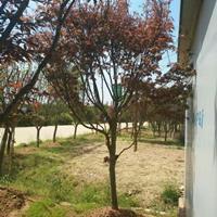 大小规格优质红枫2基地