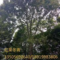 红果冬青图片/红果冬青报价