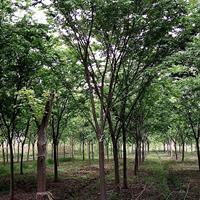 优质特价榉树2产地直销