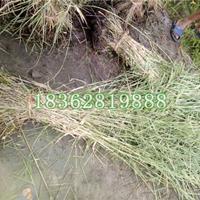 基地大量供应观赏水生植物 花叶芦苇 花叶芦苇苗价格