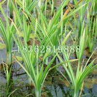 基地直销花叶香蒲苗优质水生植物花叶香蒲价格 盆栽花叶香蒲