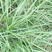 草坪种子:高羊毛,早熟禾,四季青,黑麦草,马泥拉,白三叶,