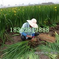 大量供应黄菖蒲 水生植物 黄花鸢尾 黄菖蒲苗 水生鸢尾