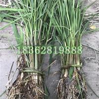 大量供应茭白 水生植物 篙瓜 菰