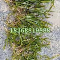 供应观赏草苦草 优质水生植物 观赏植物苦草苗价格