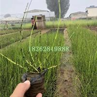 观赏草木贼 优质水生植物木贼苗  基地直销