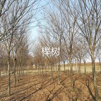 河南大量榉树出售