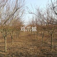 河南大量鸡爪槭出售