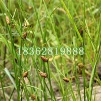 优质水生植物藨草 藨草价格  藨草小苗 观赏植物