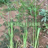 供应优质水生植物旱伞草  观赏植物 水竹  风车草