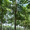 河南省周口市楸树繁育基地楸树苗梓树苗,0.5公分到5公分