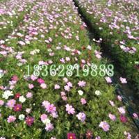 供应地被植物波斯菊 观赏植物 菊花工程苗 波斯菊价格