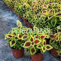 基地直销地被植物彩叶草 观赏植物 彩叶草工程苗 草花价格
