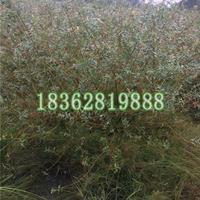 基地直销地被植物彩叶杞柳 观赏植物 彩叶杞柳快乐赛车苗价格