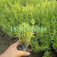 地被植物垂盆草工程苗 观赏植物 垂盆草价格