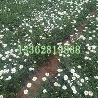 地被植物大滨菊工程苗 观赏植物 西洋滨菊价格 大白菊