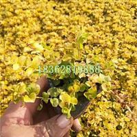 供应金叶过路黄 优质金叶过路黄价格  地被植物批发