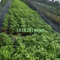 供应金叶接骨木 接骨木价格 观赏植物金叶接骨木 地被植物批发