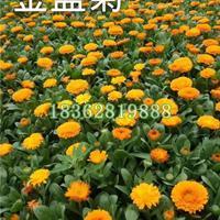 基地直销金盏菊 长生花 金盏花价格 优质地被植物批发
