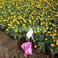 供应优质孔雀草 孔雀草小苗 地被植物 孔雀草价格